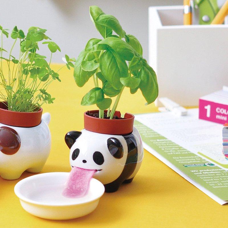 Panda Pflanze