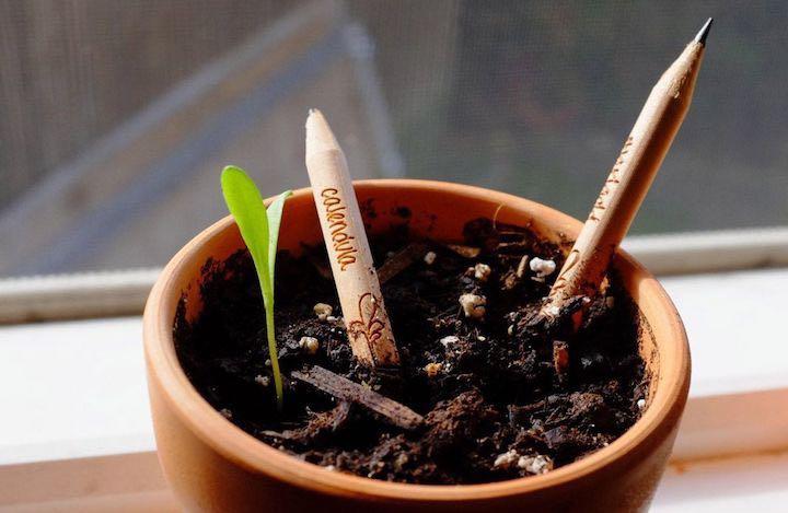 Sprout Bleistift im Topf eingepflanzt