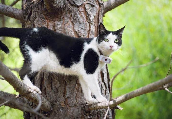 Katze traegt Tracker Weenect cats 2 am Halsband auf Baum